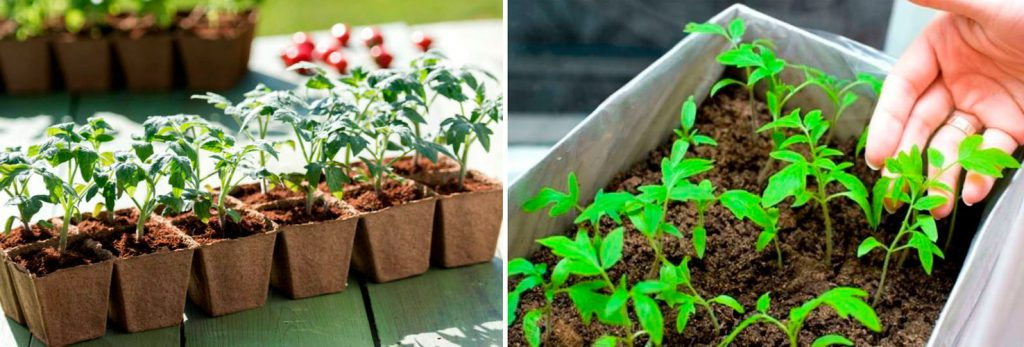 Чем подкормить рассаду помидор чтобы были толстенькие, после пикировки, в домашних условиях
