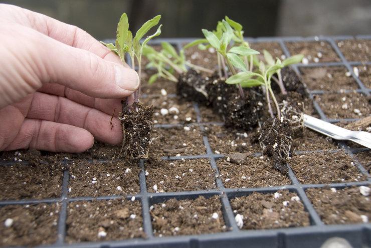 Почему у рассады помидор пересыхает стебель