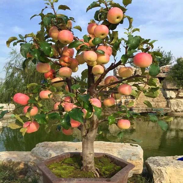 Сорта яблони на карликовых подвоях: самые лучшие низкорослые деревья, а также посадка и уход за ними